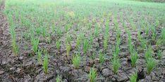 Petani di Sinjai Gagal Panen, Mentan Sarankan Mereka Ikut Asuransi