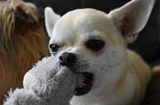 Kenali, 9 Macam Pemicu Bersin pada Anjing