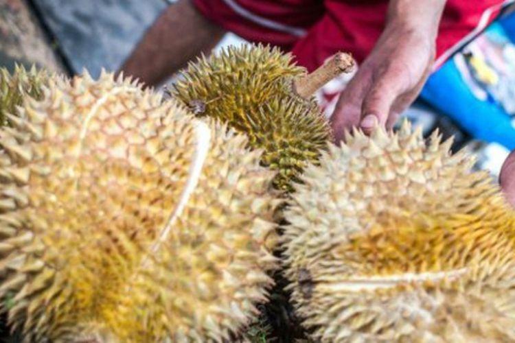 Durian bengkulu yang sudah matang, tampak menguning dan merekah.