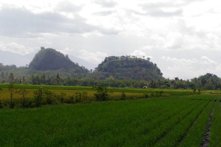 Tanaman padi di areal persawahan yang berada di Desa Mayang, Kecamatan Mayang, Kabupaten Jember, Jawa Timur.