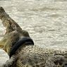 Di Palu, Buaya Muara Makin Agresif karena Kehilangan Habitat
