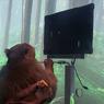 Elon Musk Pamer Video Monyet Main Game dengan Kekuatan Pikiran