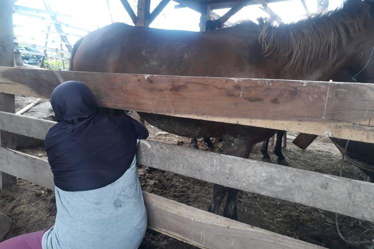 Proses memerah susu kuda liar di Susu Kuda 88