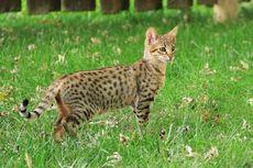 Mirip dengan Macan Tutul, Kucing Savannah Dihargai Rp 350 Juta