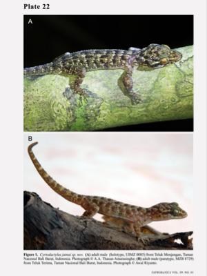 Tokek spesies baru dari Bali Barat, C. jatnai. Pada gambar A menunjukkan tokek C. jatnai jantan yang ditemukan di Teluk Menjangan, TNBB, Bali. Foto A diambil oleh peneliti A. A Thanus.  Gambar B menunjukkan tokek C. jatnai jantan yang ada di Teluk Terima, TNBB, Bali. Foto B diambil oleh peneliti Awal Riyatno.