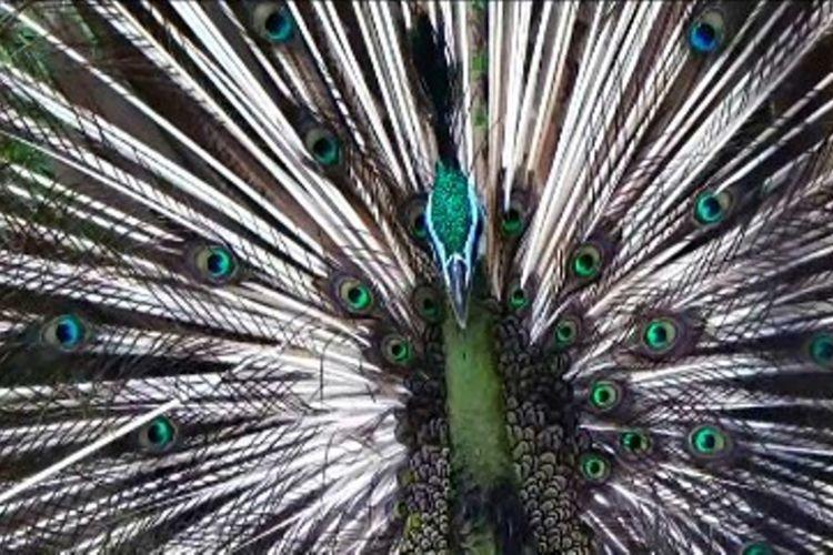 8100 Koleksi Gambar Burung Merak Anak Tk Gratis