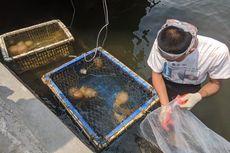 Peneliti Prediksi Kemunculan Ubur-ubur di Ancol Akan Jadi Siklus Tahunan