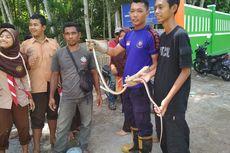 Teror Ular Kobra di Jember Berlanjut, Masuk Sekolah hingga Rumah Makan