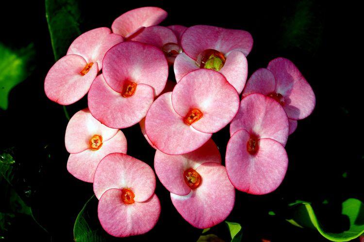 Ilustrasi tanaman hias Euphorbia atau mahkota duri.