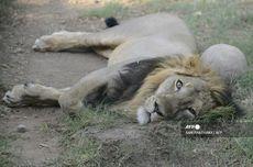 Delapan Singa Asia di Kebun Binatang India Dinyatakan Positif Covid-19