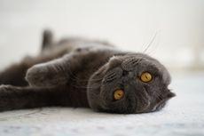 4 Tips Menghilangkan Bau Urine Kucing di Perabot Rumah