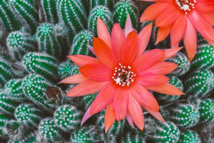 Ilustrasi bunga kaktus berwarna merah.