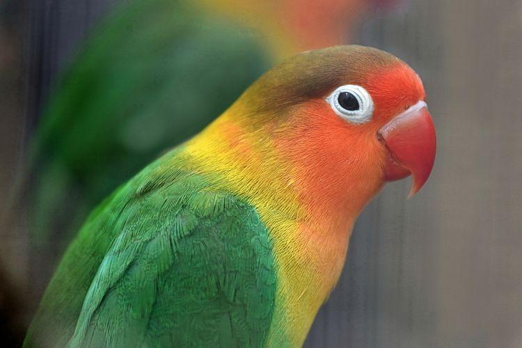 burung Fischer?s Lovebird