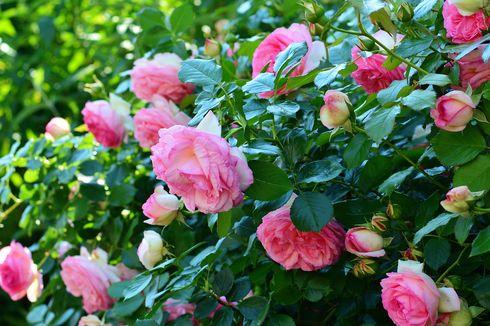 Pakai 5 Bahan Ini agar Mawar Rajin Berbunga