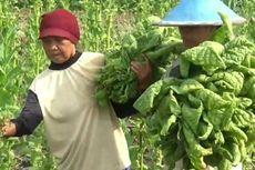 Soal Kenaikan Cukai, Pemerintah Diminta Perhatikan Petani Tembakau