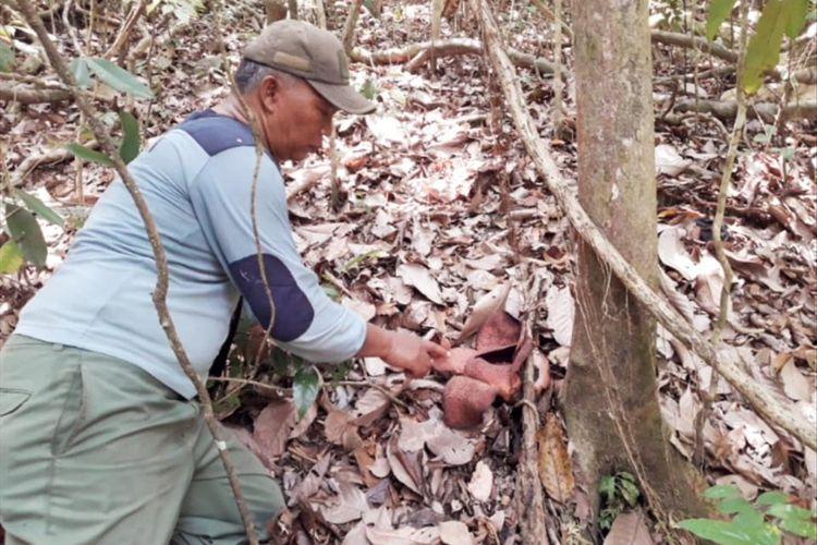 Petugas KSDA Pangandaran menemukan rafflesia Padma di Cagar Alam Pangandaran, beberapa tahun lalu.