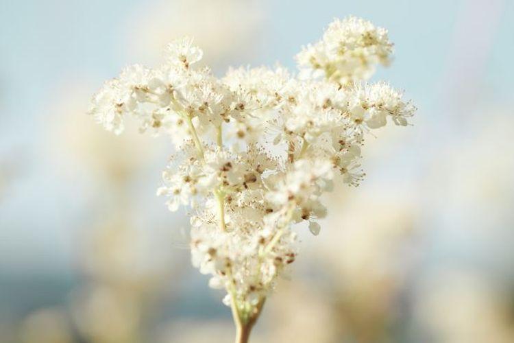 Bunga meadowsweet