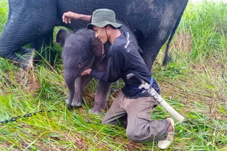 Bayi gajah itu lahir dari induk gajah jinak bernama Sabana pada Jumat (18/6/2021) di Pusat Latihan Gajah (PLG), Padang Sugihan, Kabupaten Banyuasin, Sumatera Selatan.