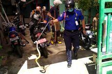 Dalam Sehari, Damkar Jember Evakuasi 2 Ular Kobra Sepanjang 2 Meter yang Masuk Rumah Warga