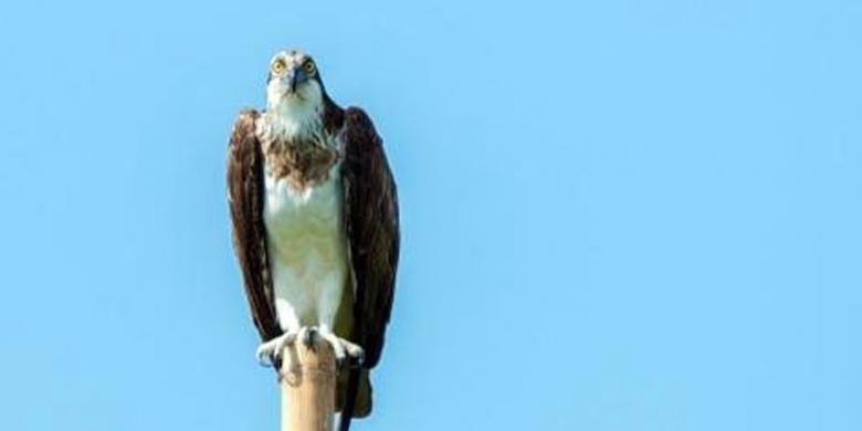 Elang Osprey Terlihat Berburu Mangsa Di Danau Limboto