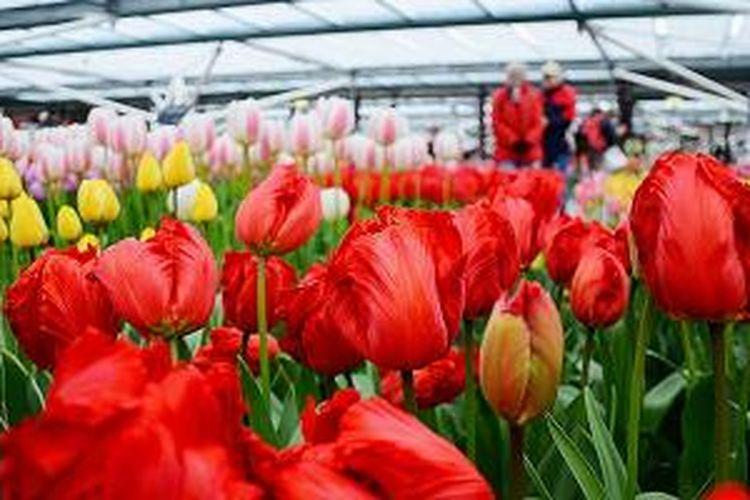 Bunga tulip khas Belanda dipamerkan di rumah kaca di Taman Bunga Keukenhof, Belanda. Bunga tulip adalah salah satu produk holtiklutura andalan dari Belanda.