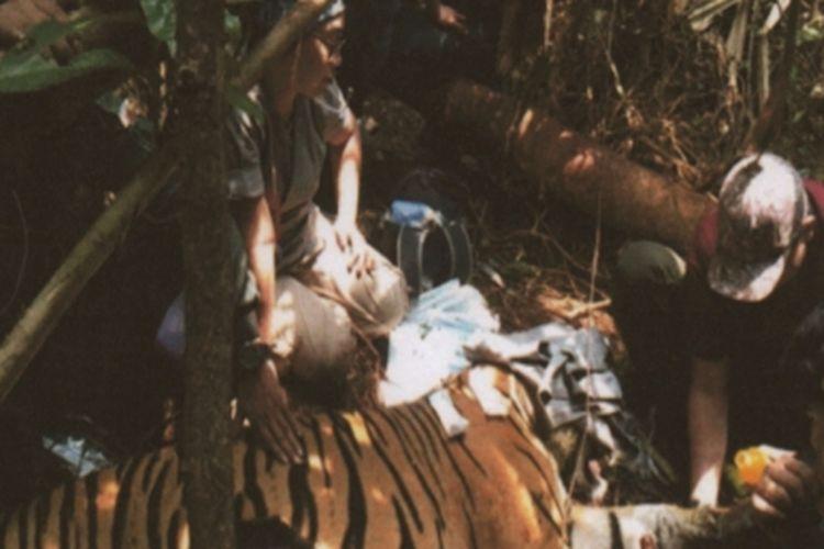 Petugas BBKSDA Riau saat melakukan penyelamatan seekor harimau sumatera yang ditemukan terjerat di salah satu hutan di Kabupaten Pelalawan, Riau, Minggu (24/3/2019).