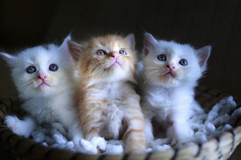 5 Ras Kucing Terpopuler dan Banyak Dipelihara di Indonesia