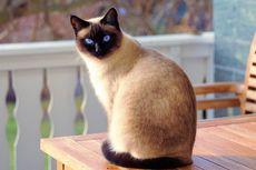 Mengapa Mata Kucing Berair? Ini Penyebabnya