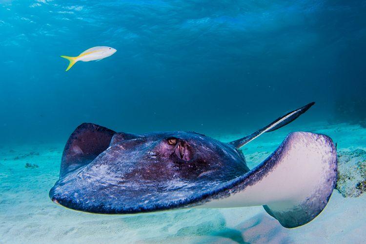 Ikan Pari yang Memiliki Sengatan Berbahaya.
