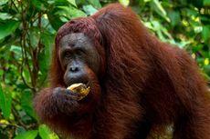 Jangan Lakukan Ini Saat Lihat Orangutan di TN Tanjung Puting