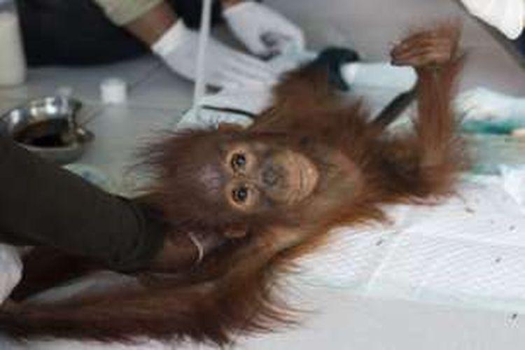 Kondisi orangutan bernama Cantik berjenis kelamin betina berusia 3 tahun saat mendapat penanganan di IAR Ketapang