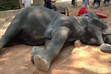 Kelelahan, Seekor Gajah di Angkor Wat Mati Saat Angkut Turis