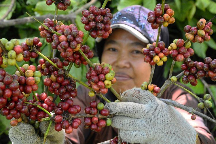 Petani memanen kopi di area lereng Gunung Muria, Dawe, Kudus, Jawa Tengah, Senin (31/7). Kopi Muria khas Kudus jenis Robusta yang tersebar di atas 452 hektar lahan di lereng gunung Muria tersebut memulai panen raya. Kopi Muria dijual dengan harga Rp6.000 per kg untuk kopi basah dan Rp24.000 per kg untuk kopi kering. ANTARA FOTO/Yusuf Nugroho/kye/17.