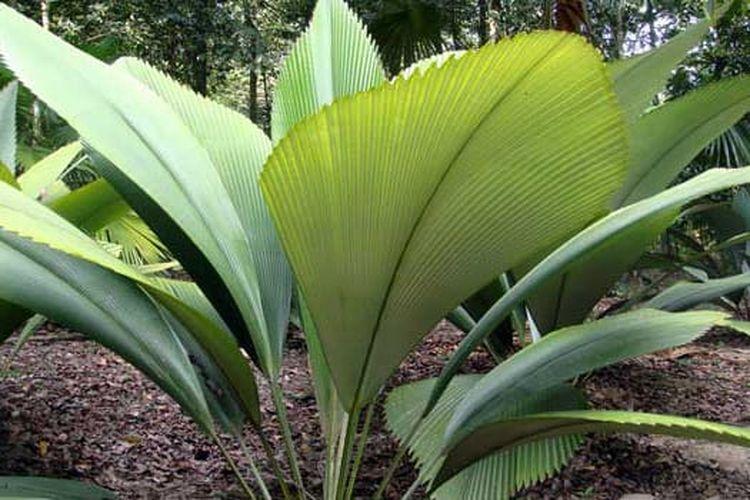 Daun Sang Sumatera
