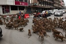 2 Geng Monyet Tawuran di Thailand, Sebabkan Kemacetan Lalu Lintas