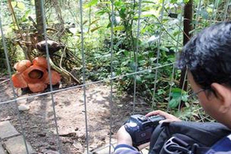Pengunjung mengabadikan Raffflesia Patma yang mekar di Kebun Raya Bogor, Kota Bogor, Jawa Barat, Minggu (4/11/2012). Mekarnya bunga langka itu menarik wisatawan maupun peneliti tumbuhan untuk datang ke Kebun Raya Bogor.