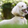 Kenalan Lebih Dekat dengan Anjing Pudel yang Menggemaskan