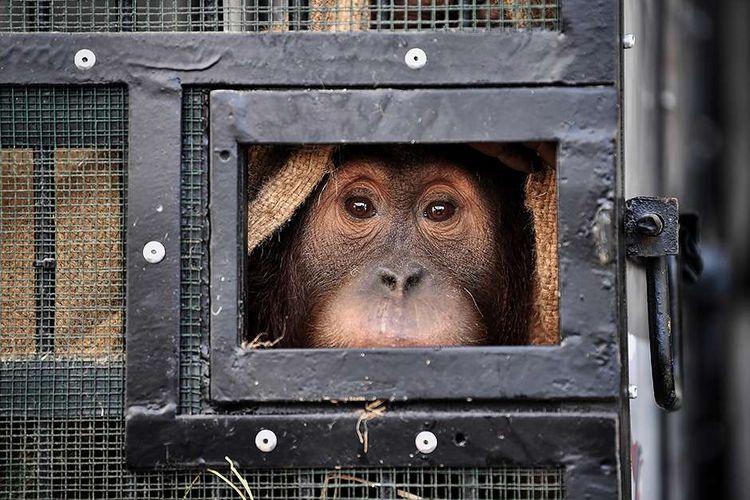 Orangutan Sumatera korban penyelundupan di Thailand hendak dipulangkan kembali ke Indonesia, di Bandara Suvarnabhumi, Bangkok, Thailand, Kamis (17/12/2020). Kedua orangutan bernama Ung Aing dan Natalee yang berusia 4 tahun itu merupakan korban penyelundupan para pemburu liar yang mencoba menyelundupkannya lewat Malaysia pada Juni 2017 lalu.