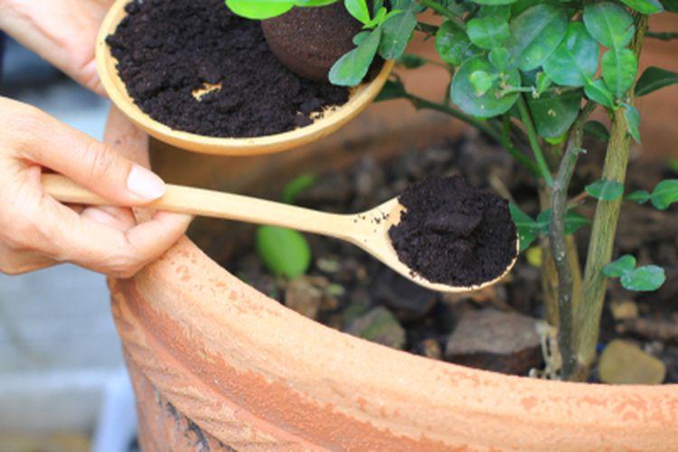 Ampas kopi bisa dimanfaatkan sebagai pupuk atau penyubur tanaman.