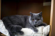 Mengenal Kucing British Shorthair yang Dipelihara Gisella Anastasia