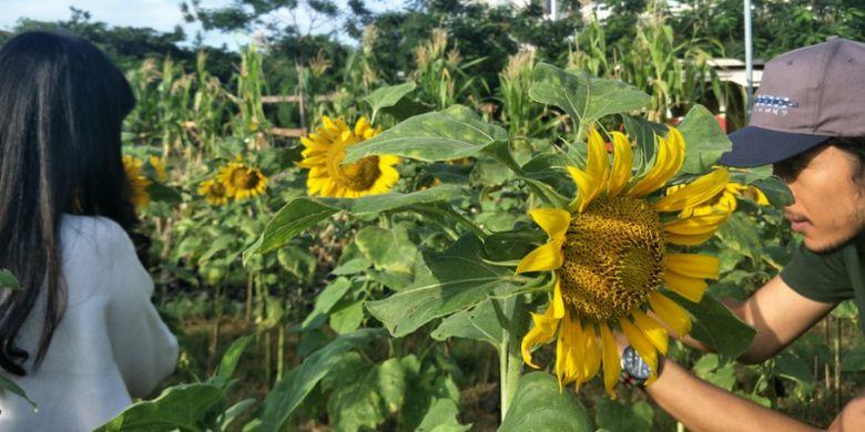 Pengunjung mengabadikan foto di antara bunga matahari yang sedang bermekaran di Arumdalu Farm, Serpong, Tangerang, Banten.