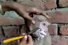 Viral Video Monyet di India Duduk Manis Saat Dicukur
