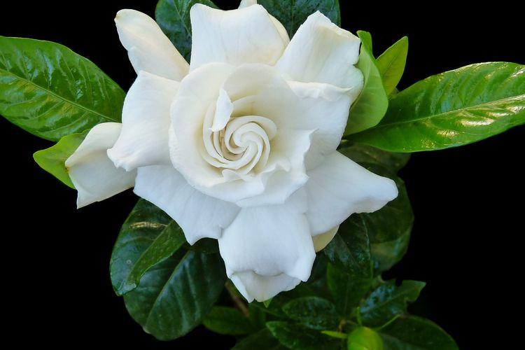 Ilustrasi bunga kacapiring atau gardenia.