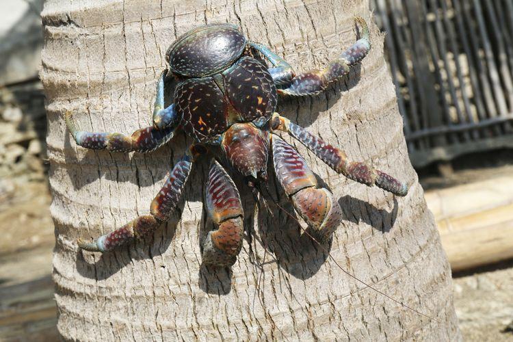 Ilustrasi ketam kenari alias coconut crab (Birgus latro)