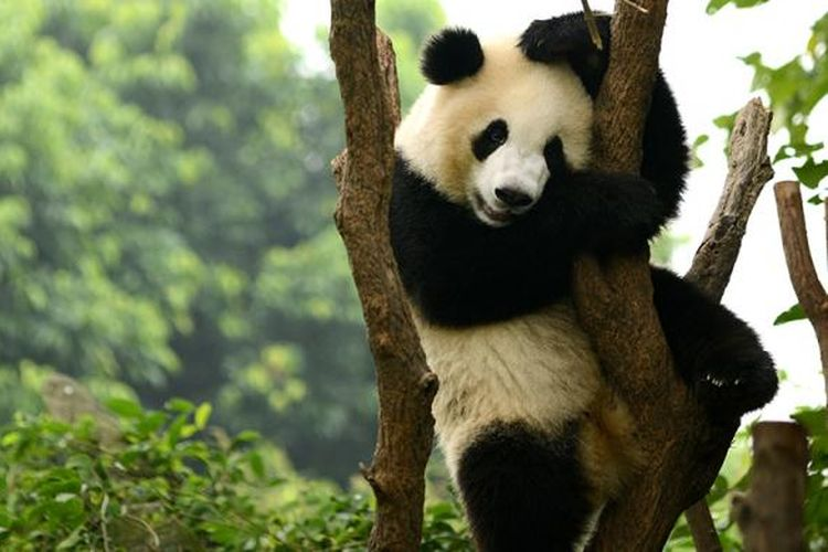 Panda di Chengdu, China.