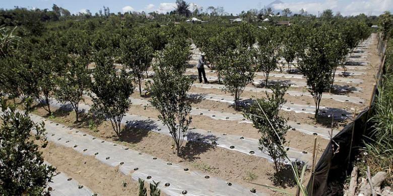 Lahan pertanian tumpang sari jeruk di Kintamani, Kabupaten Bangli, Bali, dengan latar belakang Gunung Agung.