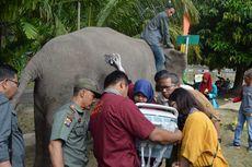 Kabar Gembira, Gajah Sumatera Bernama Ngatini Hamil 4 Bulan