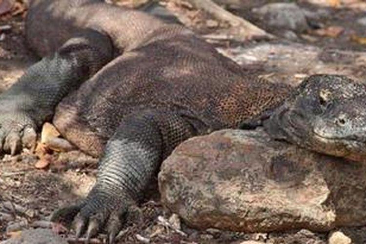 Komodo(Varanus komodoensis)