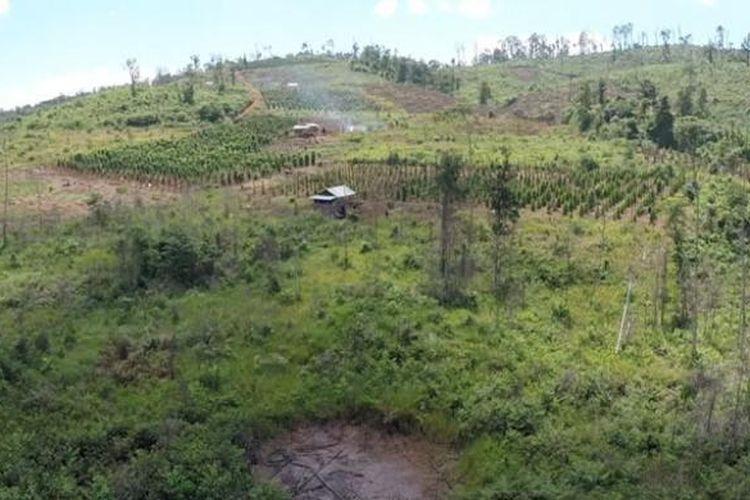 Penebangan liar untuk membuka lahan kebun lada di Towuti, Sulawesi Selatan.
