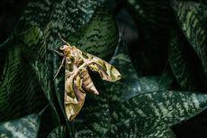 Bantu Penyerbukan Bunga, Ini Peran Penting Ngengat di Malam Hari